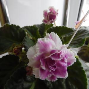 РС - Ледяная Роза