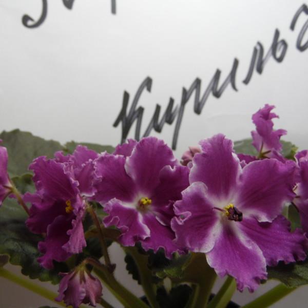 пт- ванесса