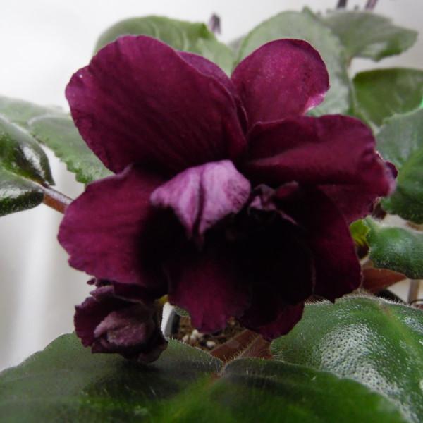 ЕК-Кровавая Орхидея