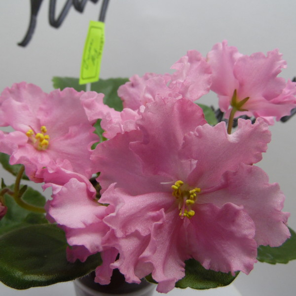 ЕК-День Роз