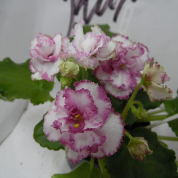 АВ-Подмосковная Роза