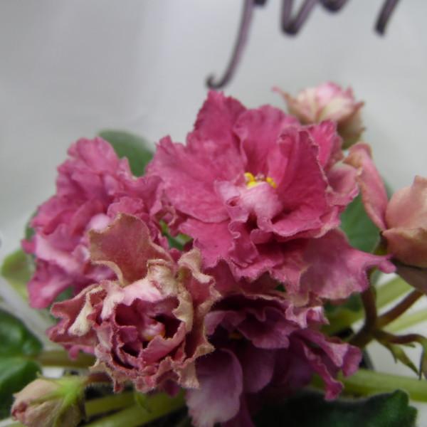 ЛЕ-Пепельная Роза