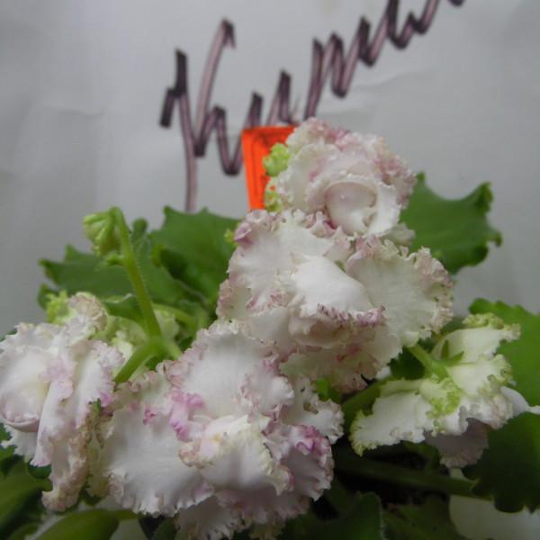 ЛЕ-Роза Ветров