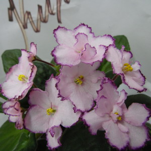 КО-Полевой Цветок