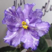 Dn-Fleur